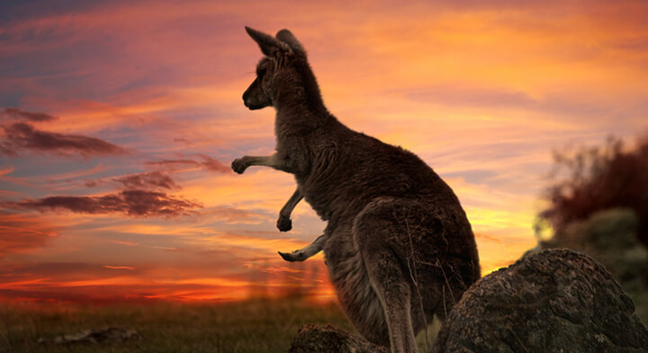 کانگوروی استرالیا