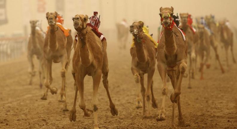 مسابقه شترها